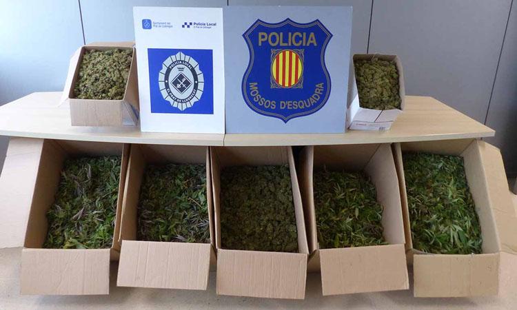 Mossos i Policia Local desmantellen una plantació de marihuana al Prat