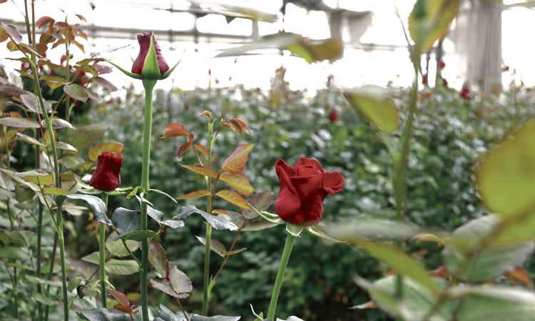 Un floricultor de Teià, entre els dos últims productors de roses