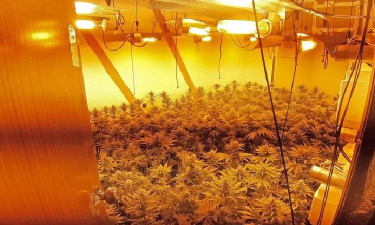Sis detinguts en una operació contra plantacions de marihuana a Sant Roc