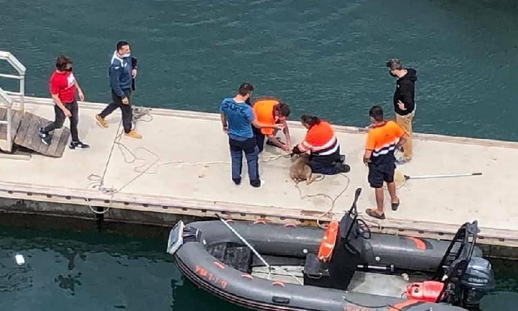 De la Serra de Marina al Port Fòrum: rescaten del mar el cabirol perdut