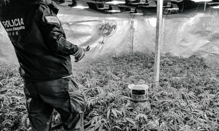 L'any del tràfic de marihuana